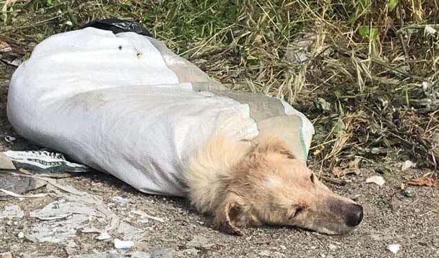 Violenza su un cane, seviziato e ridotto in fin di vita  L'animale trovato con zampe legate e chiuso in un sacco