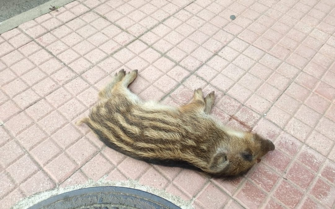 Carcassa di cinghiale scoperta sul marciapiede a Lamezia  L'animale probabilmente si è spinto in città in cerca di cibo