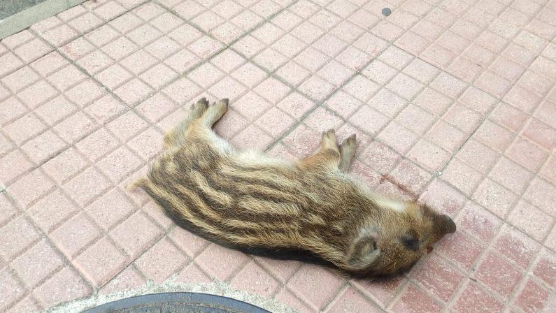 Carcassa di cinghiale scoperta sul marciapiede a LameziaL'animale probabilmente si è spinto in città in cerca di cibo