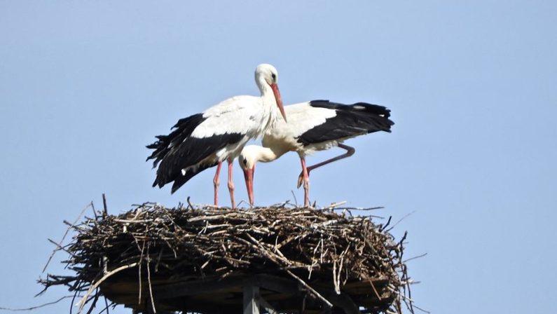 Vallo di Diano, ecco i nidi artificiali per le cicogne