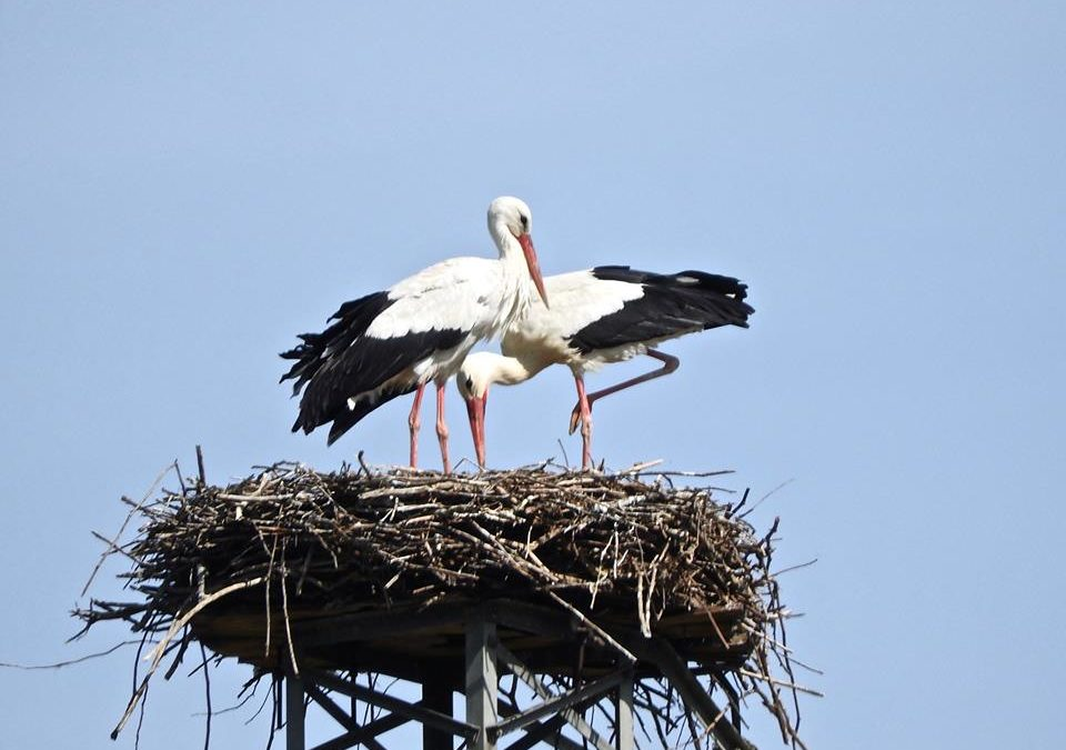 Nuova coppia di cicogne bianche in Calabria  La Lipu ha individuato il nido nella Valle del Crati