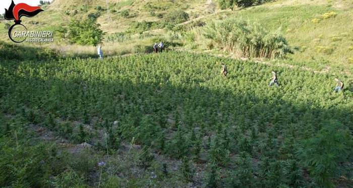 Scoperta produzione industriale di canapa in AspromonteDecine di arresti, c'è anche esponente del clan Pelle-Vottari
