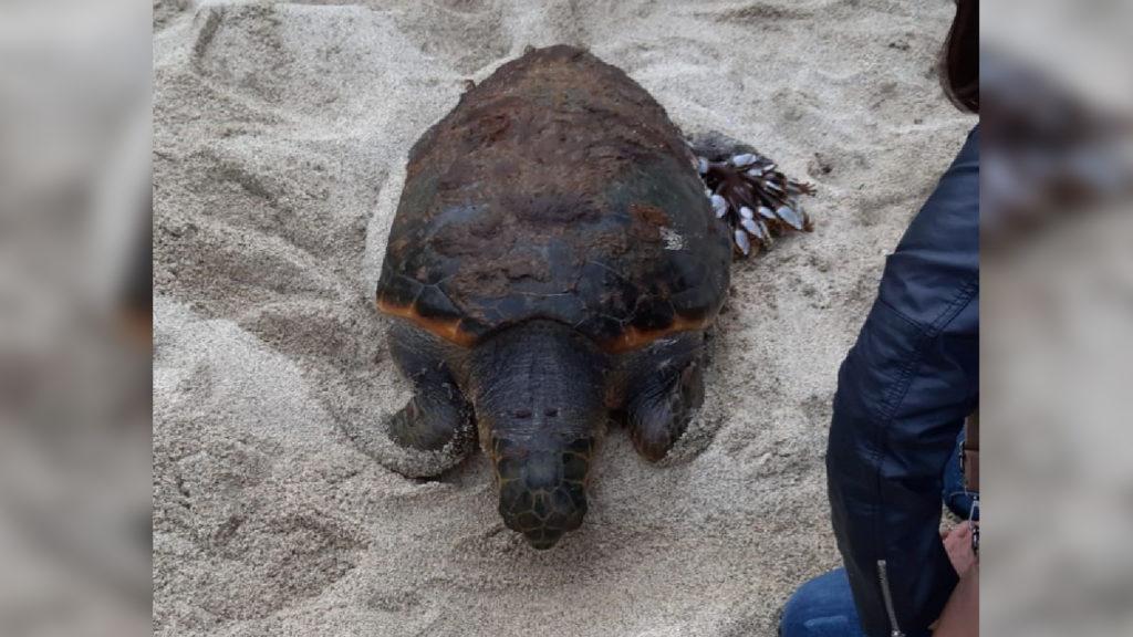 Morta tartaruga rinvenuta in spiaggia nel ViboneseInutili le cure da parte degli specialisti
