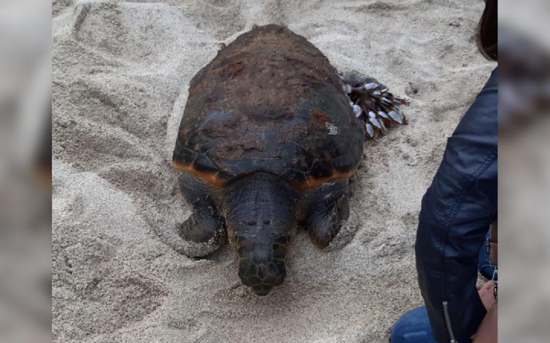 La tartaruga rinvenuta in spiaggia