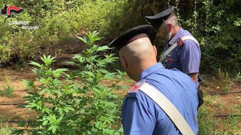 Una piantagione di marijuana nascosta tra i rovi, arrestati zio e nipote nel Reggino