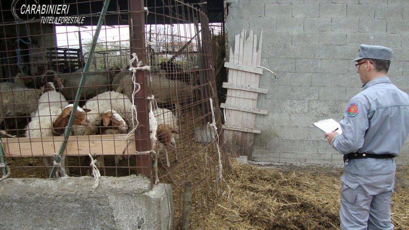 """Maxi sequestro di bestiame operato nel Cosentino  I Carabinieri forestali """"bloccano"""" ben 72 animali"""