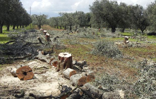 La Xylella avanza verso la Basilicata: rischio contagio a pochi chilometri da Matera