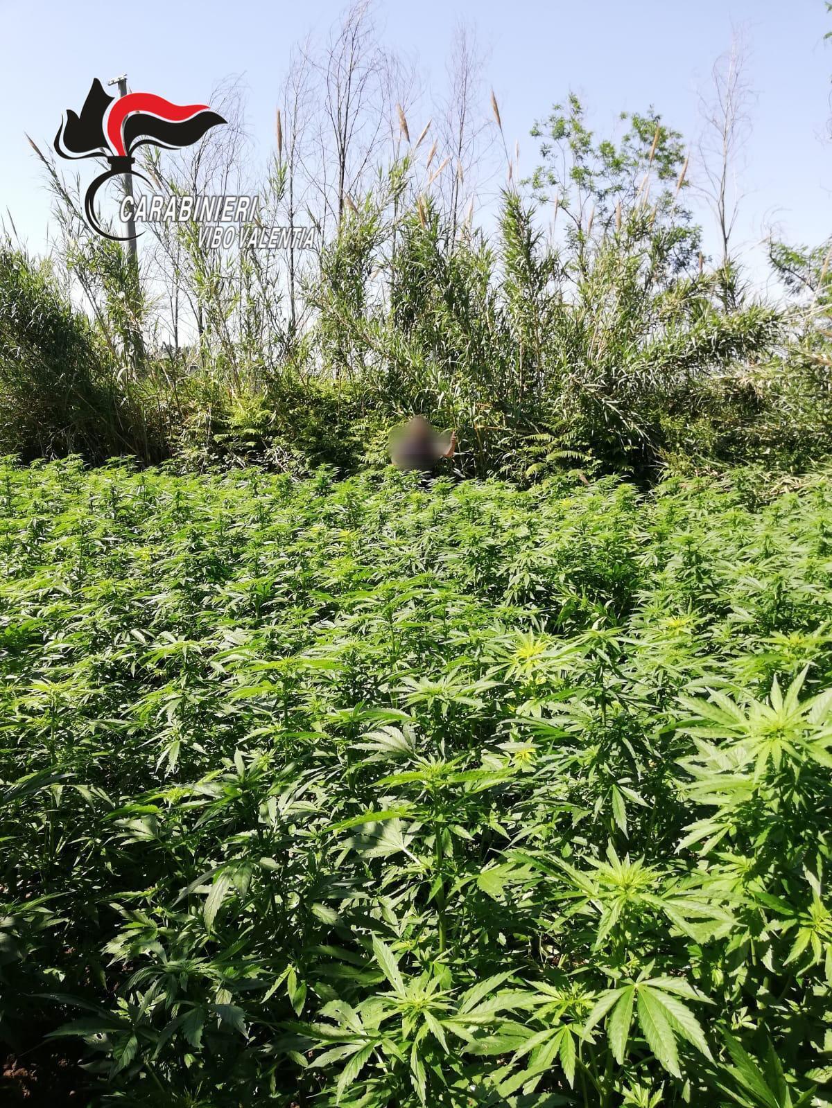 Piantagione di cannabis scoperta tra i boschi di San Luca