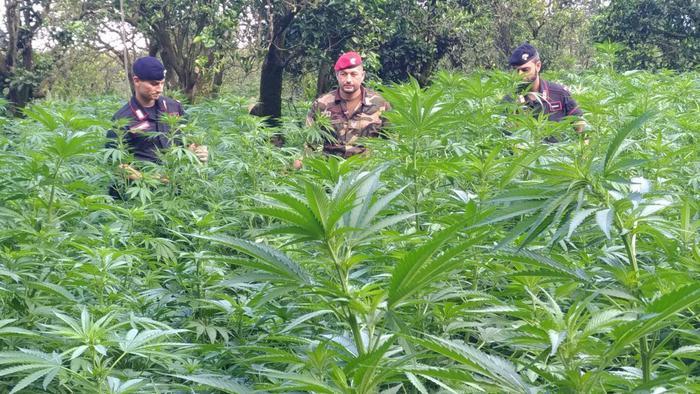 Oltre 3200 piante di canapa indiana scoperte a TaurianovaArrestati quattro giovani, la piantagione è stata distrutta