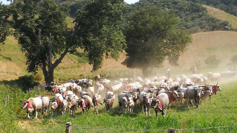 La storia di una tradizione millenaria in Calabria  Transumanza: da festa di paese a motivo di sviluppo