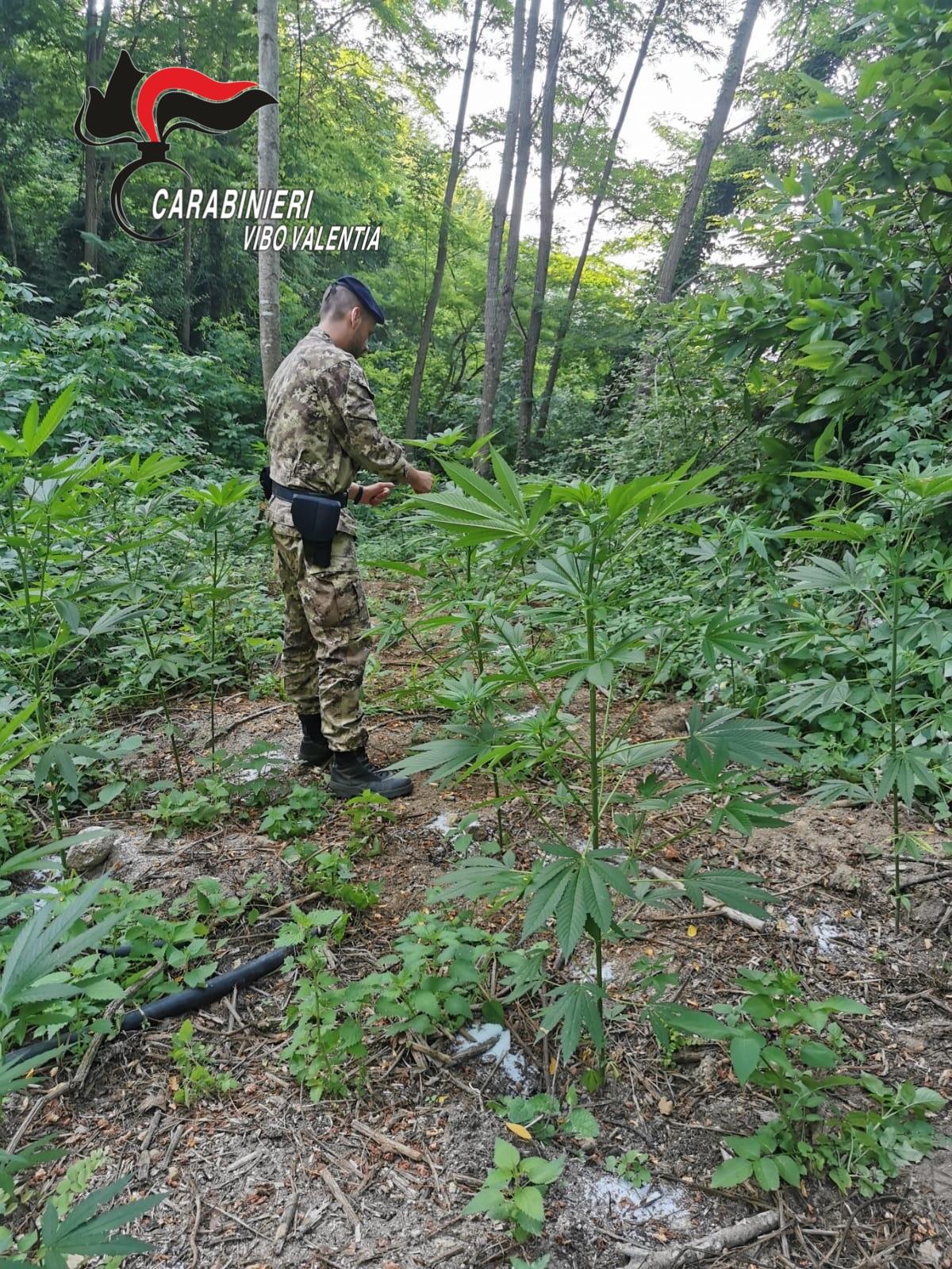 Piantagioni di canapa scoperte nel ViboneseDue arresti, sequestrati e distrutti 240 arbusti