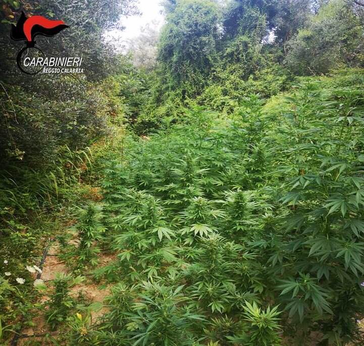 Droga, piantagione di marijuana scoperta nel Reggino: distrutte tre tipologie di cannabis