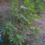 piantagione marijuana bagaladi.jpg
