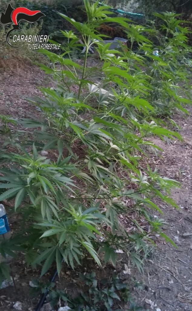 Droga: coltivavano canapa indiana, due fratelli arrestati in operazione nel Reggino
