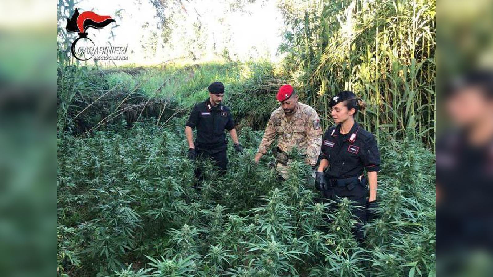 Ennesima piantagione di canapa scoperta nel RegginoUna volta essiccata avrebbe fruttato quasi un milione di euro