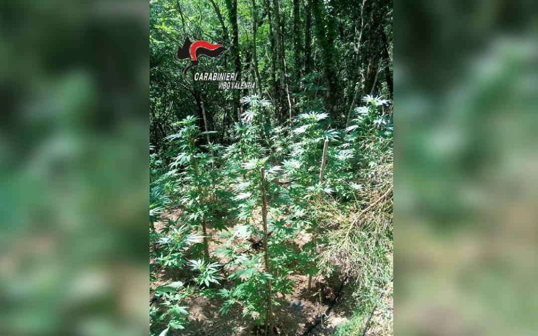 Piantagione di canapa scoperta nel vibonese  Raccolta ed essiccata avrebbe fruttato 20 mila euro
