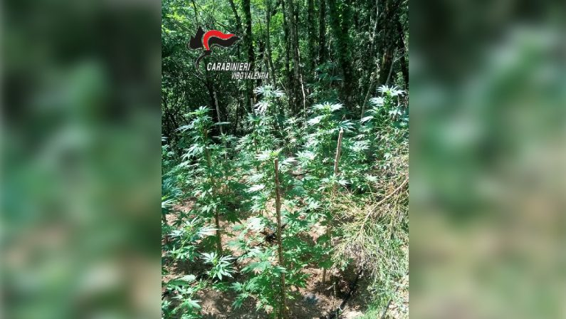 Piantagione di canapa scoperta nel viboneseRaccolta ed essiccata avrebbe fruttato 20 mila euro