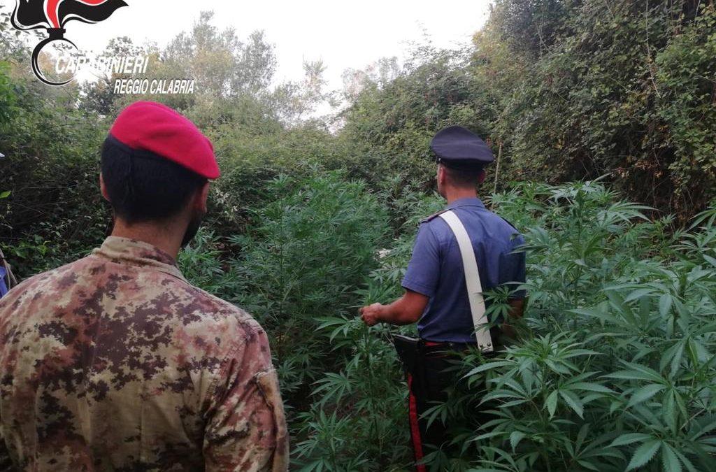 Sorpresi a coltivare una piantagione di marijuana  Tre persone arrestate nel Reggino, inutile la fuga