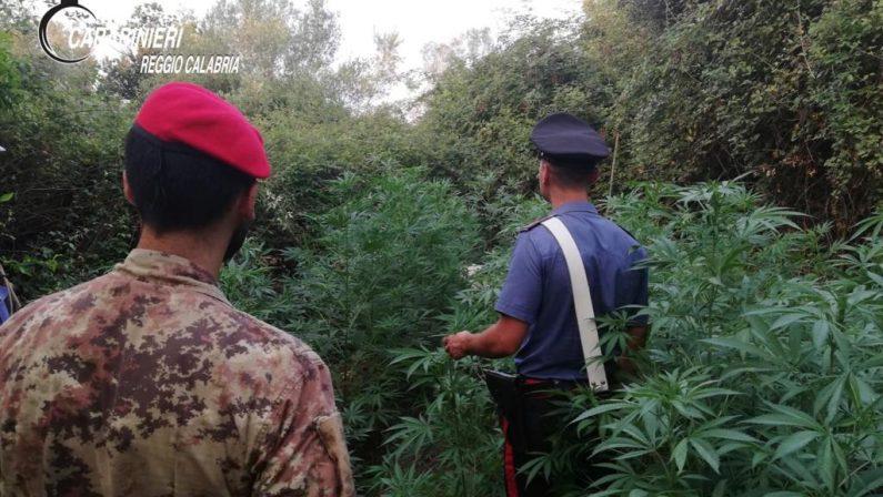 Droga: due piantagioni di cannabis scoperte nel Reggino, sequestrate oltre mille piante
