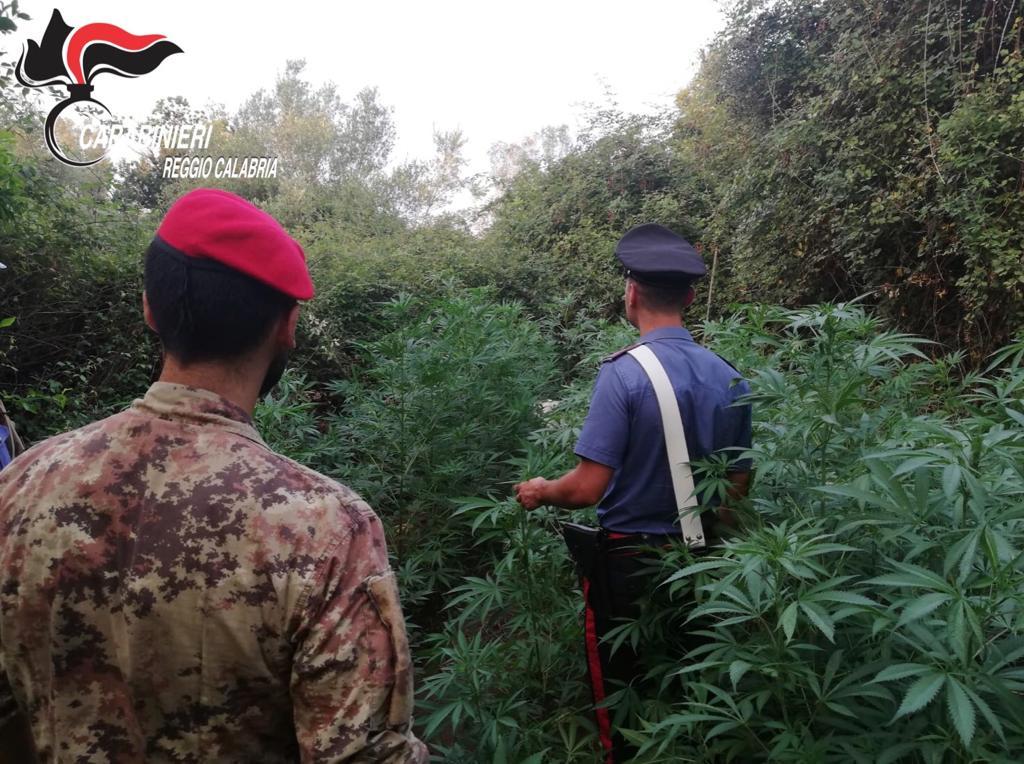 Sorpresi a coltivare una piantagione di marijuanaTre persone arrestate nel Reggino, inutile la fuga