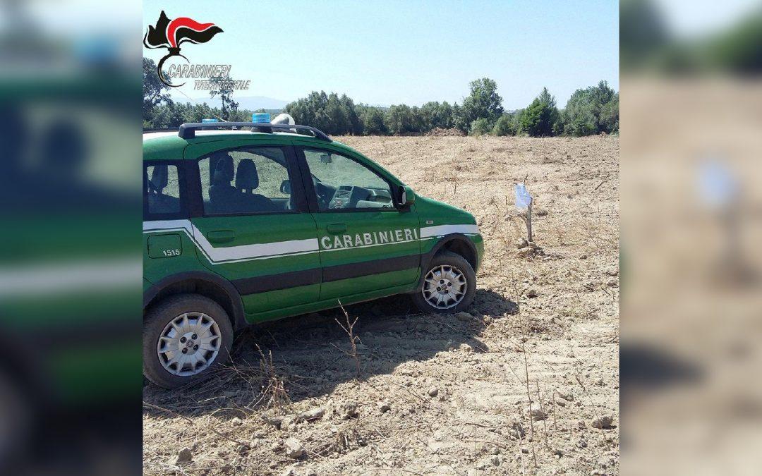 Estirpano un intero agrumeto a Corigliano Rossano  Denunciate due persone e sequestrati 2 ettari di terreno
