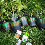 piantagione canapa lamezia.jpg