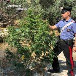 piantagione marijuana nel Reggino.jpg