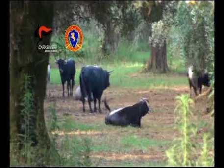 """'Ndrangheta, in un anno catturate 320 """"vacche sacre"""" nel Reggino: nessuno si era mai ribellato"""
