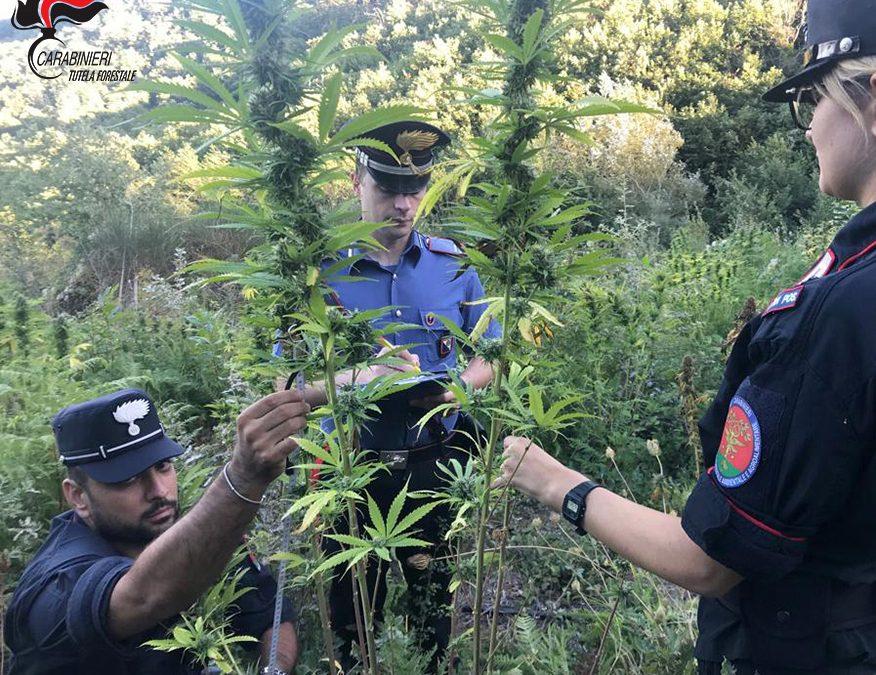 Droga, 568 piante di canapa sequestrate dai carabinieri nel Cosentino