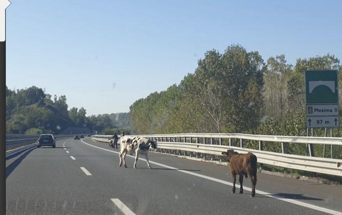 Mucche invadono l'Autostrada nel Vibonese, sfiorato un incidente