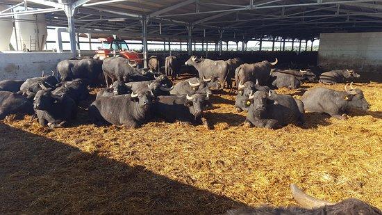 """Confagricoltura: """"Coronavirus - Calo della domanda di latte di bufala, chiesto incontro in Regione"""""""