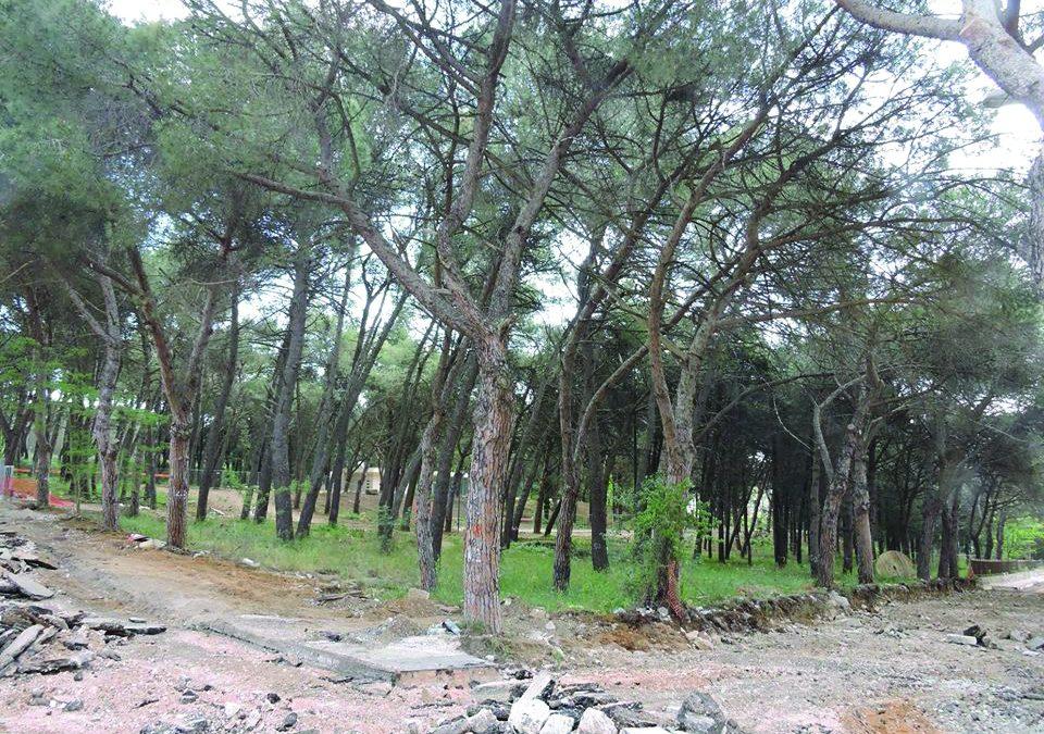 I pini di Lanera che in parte sono stati tagliati e che saranno oggetto di una compensazione con nuove piante che verranno piantumate il 30 novembre