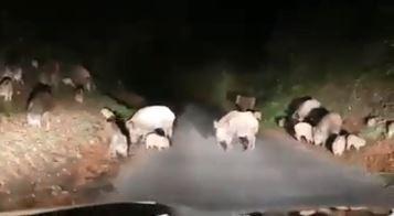Strada bloccata da decine di cinghiali, torna l'allarme nel Vibonese - VIDEO