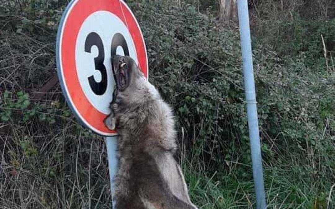 Il lupo appeso al cartello