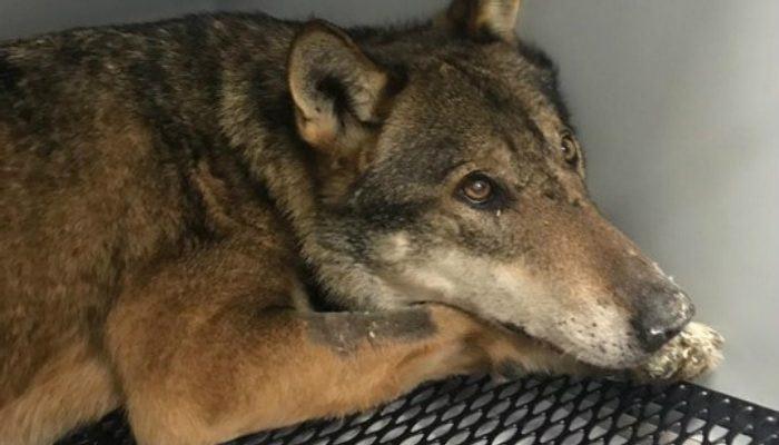 Morte del lupo Arvo, il Wwf: «Cause ancora da chiarire»