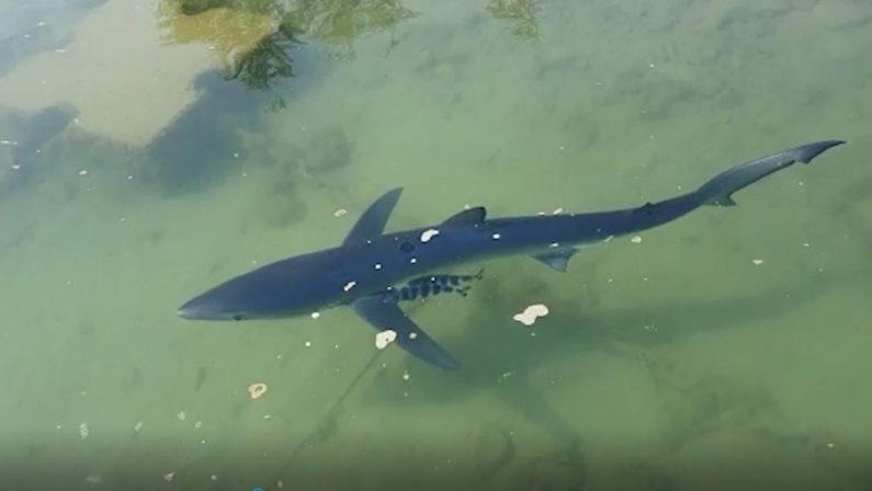 VIDEO - Una verdesca avvistata a riva a Vibo Marina