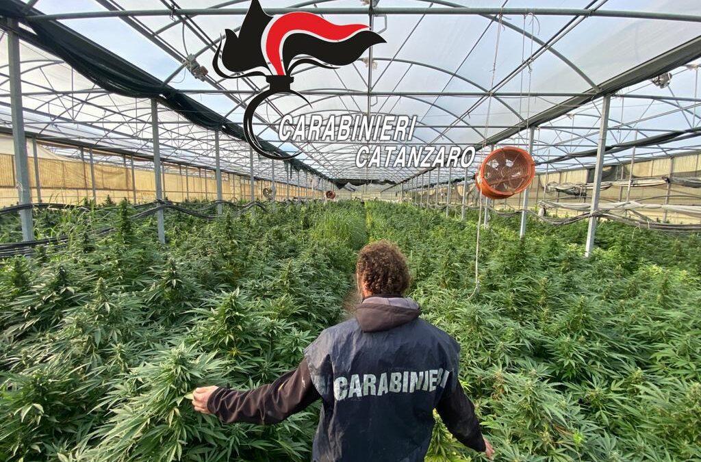 Una parte della maxi piantagione di marijuana