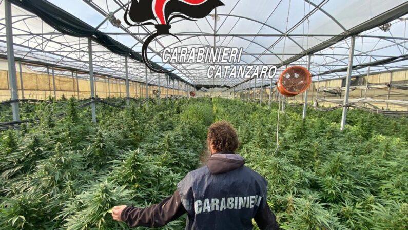 Piantagione di marijuana da 9 milioni di euro: arresti tra Catanzarese, Crotonese e Reggino