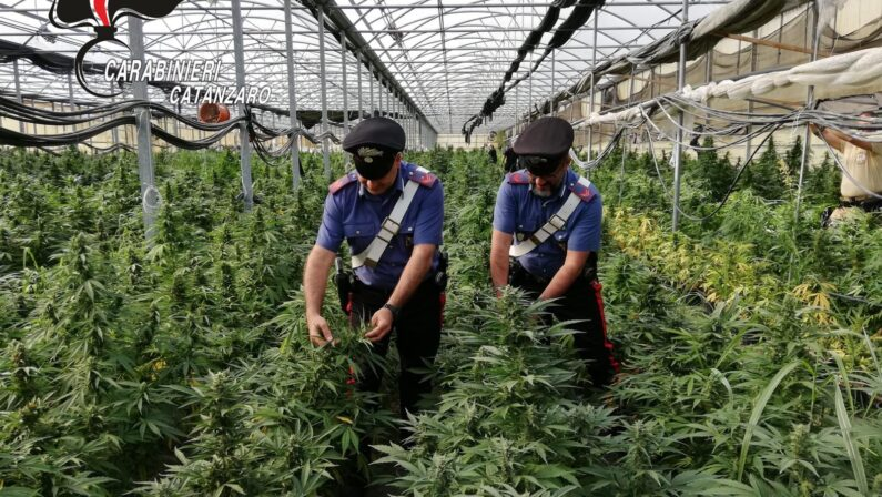 Droga, 10mila piante di cannabis sequestrate nel Catanzarese. Valore di 9 milioni di euro, un arresto - VIDEO