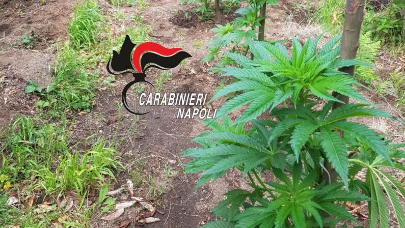 Lotta alla drgoa, ancora un sequestro sui Monti Lattari di 750 piante di cannabis