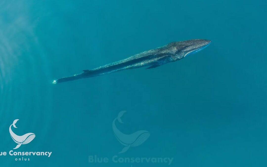 La balenottera senza coda in una foto dall'alto