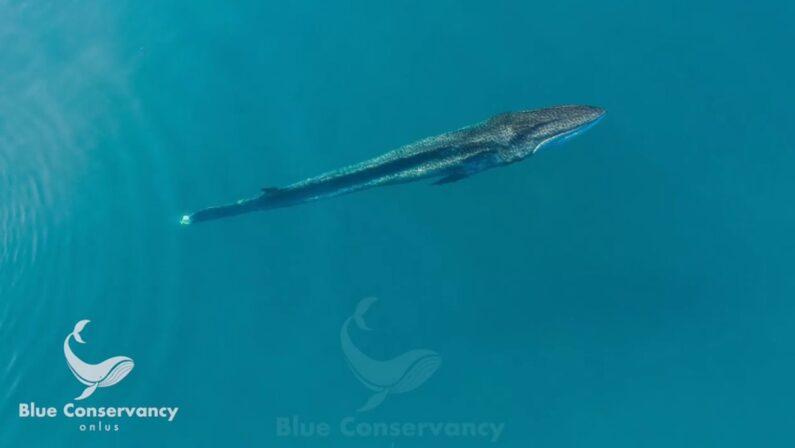 Avvistata una balenottera con la coda amputata al largo di Brancaleone. Scarse le chance di sopravvivenza