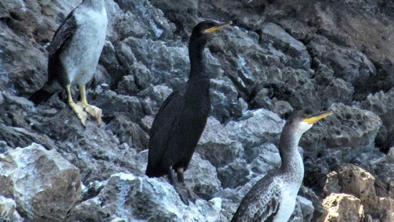 Natura, Marangone dal ciuffo, un nuovo ospite nel mare della Campania