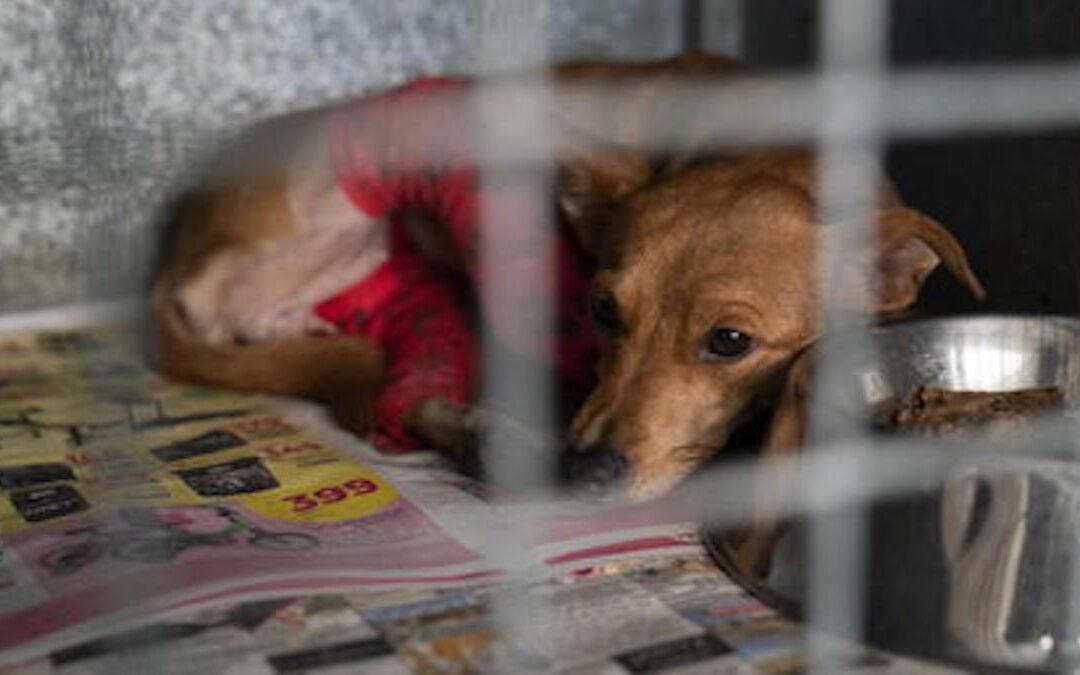 Maltrattamento e traffico illecito di animali, coinvolto un veterinario del Cosentino