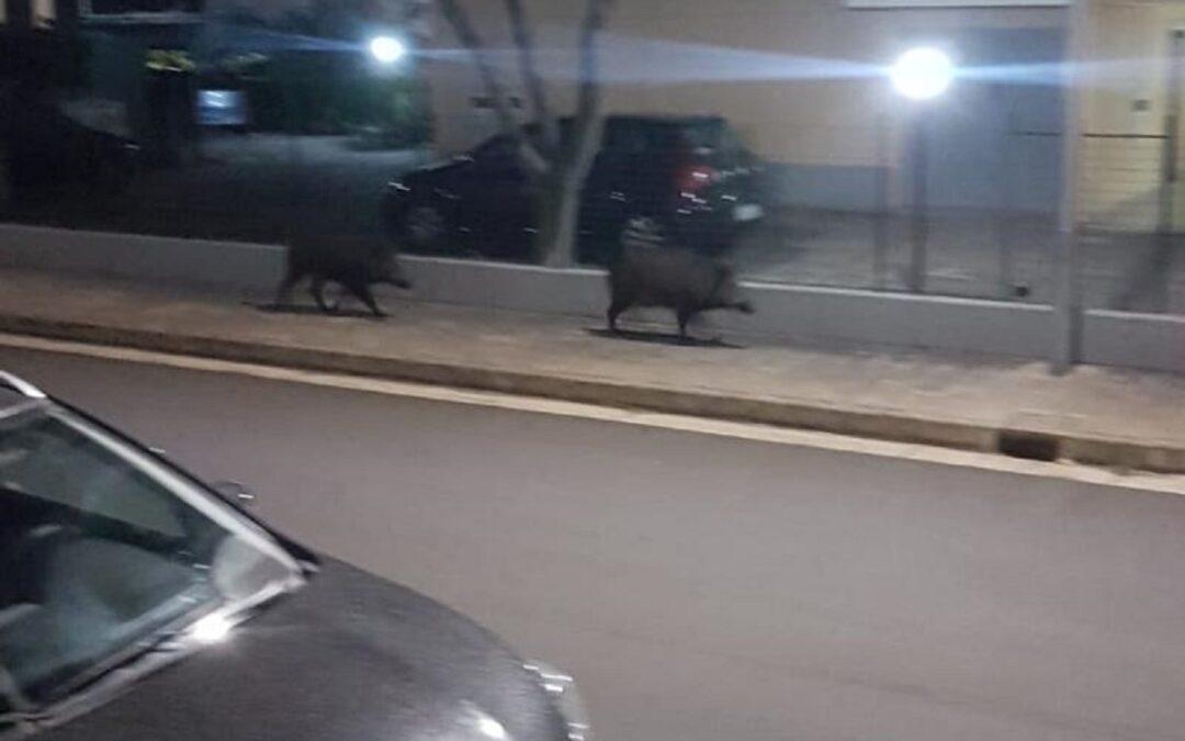 I due cinghiali che camminavano per Montepaone