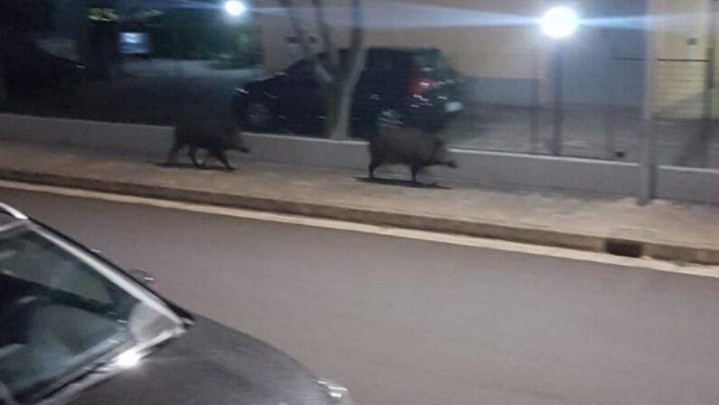 Abbattuti dai carabinieri due cinghiali che da qualche giorno circolavano per le strade di Montepaone