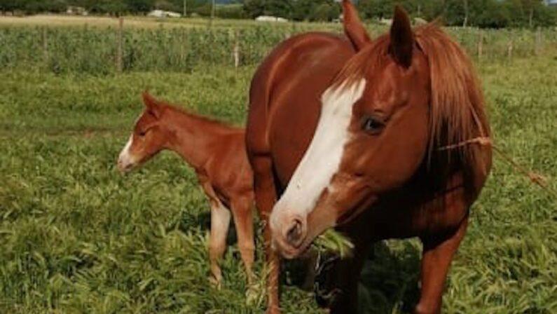 Quattro cavalli rubati nel Vibonese, indagano i carabinieri