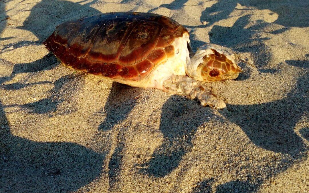La tartaruga ritrovata sulla spiaggia di Briatico
