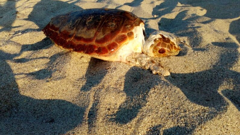 Rinvenuta una carcassa di tartaruga sul litorale vibonese