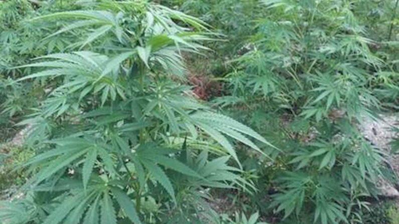 Scoperta piantagione di marijuana a San Giovanni Rotondo, un arresto